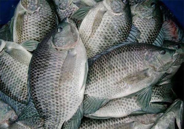 Làm sao để nuôi cá rô phi cho hiệu quả tốt nhất?